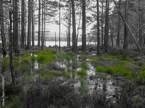 Photo Monochrom Aufnahme von Bäumen im Wasser eines Sumpf stehend am Loch Garten bei A