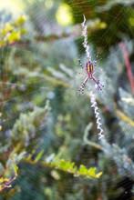 Wasp Spider, Argiope Bruennich...
