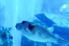 Blurry Photo Of Arothron Meleagris Or Guineafowl Puffer Or Golden Puffer In A Sea Aquarium