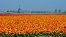 Orange Colored Tulip Field With Windmill In The Netherlands, Holland, Schagen