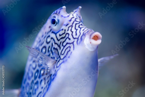 Fotografie, Obraz  Blurry photo of Longhorn cowfish Lactoria cornuta horned boxfish in a sea aquari