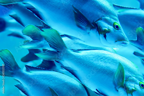 Poster Chambre d enfant Blurry Yellowfin surgeonfish in a sea aquarium