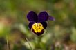 kwiat bratek polny fiołek trójbarwny