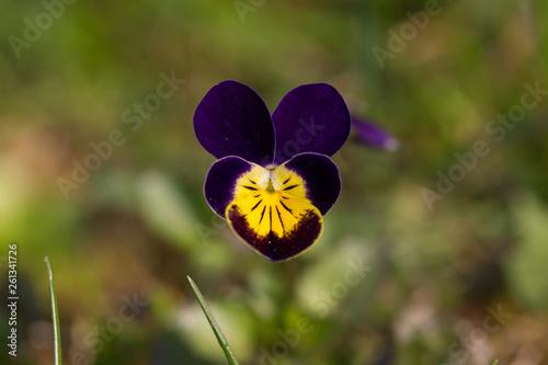Fototapeta kwiat bratek polny fiołek trójbarwny obraz