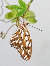 Gulf Fritillary Butterfly Shor...