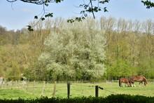 Chevaux De Trait Broutant De L'herbe Dans La Grande Prairie Du Domaine De L'abbaye Du Rouge-Cloître à Auderghem