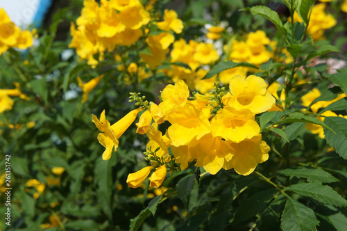 Tecoma stans yellow bells flowers with green foliage Canvas-taulu