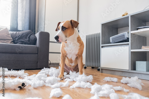 Poster Chien Guilty dog and a destroyed teddy bear at home. Staffordshire terrier sits among a torn fluffy toy, funny guilty look