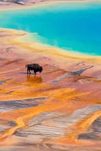 Bison Walking Near Grand Prism...