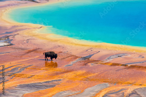Fotografie, Obraz Bison walking near Grand Prismatic Spring, Yellowstone National Park
