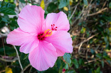 Colorful Bright Pink Hibiscus Flower With Natural Green Bush Background.
