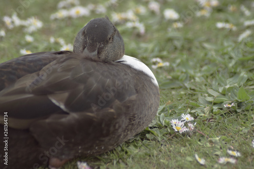Photo  Duck resting in meadow
