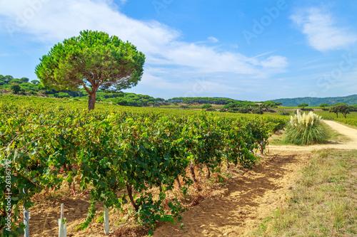 Cuadros en Lienzo Ladscape of wineyards around Saint Tropez, Cote d'Azur, France