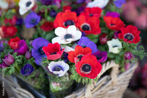 Photo Springtime beautiful Anemone coronaria flowers in red, white, magenta, blue colors