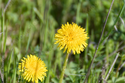 Photo  dandelion in the grass