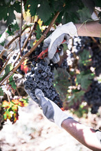 Crop Hand Of Farmer Cutting Wreath Of Red Vine On Plantation