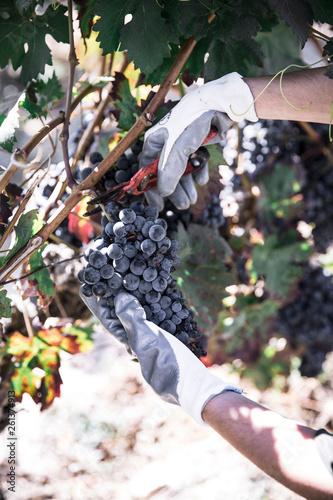 Crop hand of farmer cutting wreath of red vine on plantation Fototapete