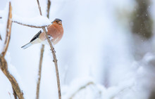From Below Closeup Wild Robin Sitting On Tree Branch In Winter On Blurred Background