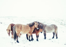 Beautiful Brown Horses Pasturing On Snowy Meadow In Winter In Iceland