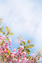 Cherry Blossom Trees, Nature And Spring Background. Pink Sakura Flowers. Flower Landscape, Blurred