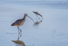 Long Billed Curlews 01