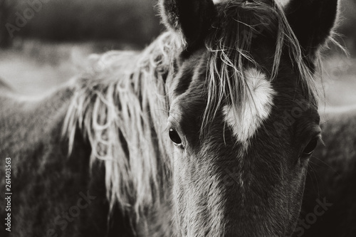 Fototapeta Rustic horse image of young mare close up in black and white on ranch. obraz na płótnie