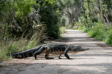 Large American Alligator Walki...
