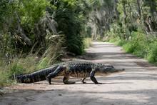 Large American Alligator Walking Across Path