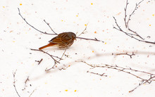 Fox Sparrow Foraging For Food ...