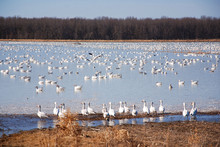 Snow Geese Migration.  During Spring Migration, Large Flocks Of Snow Geese Fly Very High Along Narrow Corridors, More Than 3000 Miles From Traditional Wintering Areas To The Tundra.