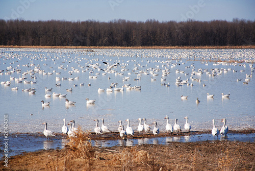 Snow geese migration Fototapet