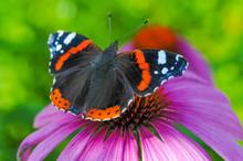 Schmetterling Admiral Auf Heil...