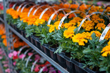Many Colorful Flowers In A Row At  Nursery Or Flower Shop  -