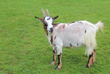 Hausziege / Domestic Goat / Capra Aegagrus Hircus