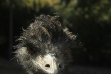 Portrait Of An Ostrich With A ...