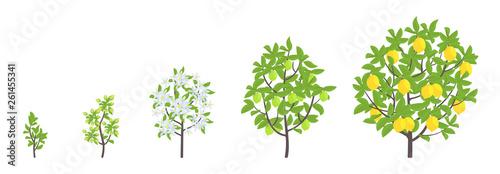 Valokuvatapetti Lemon tree growth stages