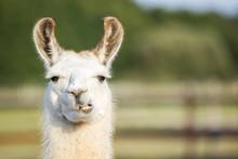 Süßes Weißes Lama Portrait ...