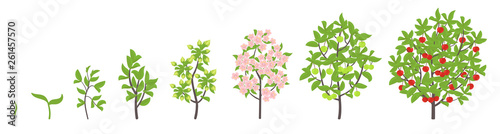 Cherry tree growth stages. Vector illustration. Ripening period progression. Cherries fruit tree life cycle animation plant seedling. Sweet cherry. Prunus increase phases.