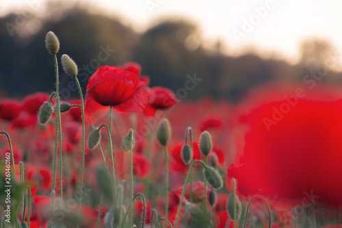 In de dag Poppy poppy field blossoming in summer. beautiful nature background at dusk. remembrance day concept