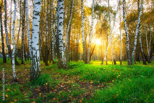 Fototapeta Autumn birch trees in bright sunlight