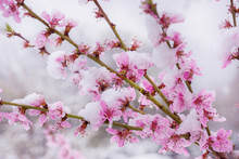 Winter Slump, Snow On Peach Blossom In Spring