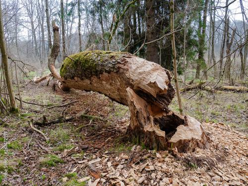 Photo Vom Bieber gefällter und entrindeter Baum