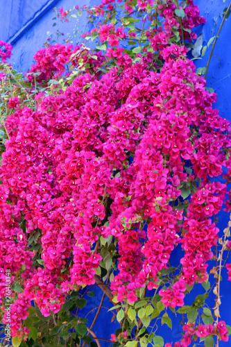 Spoed Fotobehang Roze Red flowers on a blue fence Africa Morocco