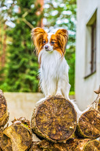Portrait Of A Papillon Purebre...
