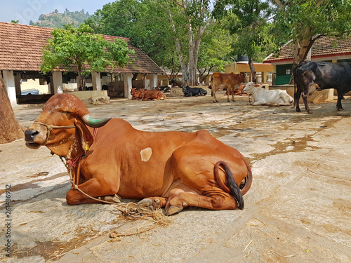 Photo Cows in the Ramana Maharshi ashram in Tiruvanamalai India