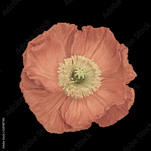 Fotografía  Floral fine art still life pastel color macro of a single isolated pink satin/si