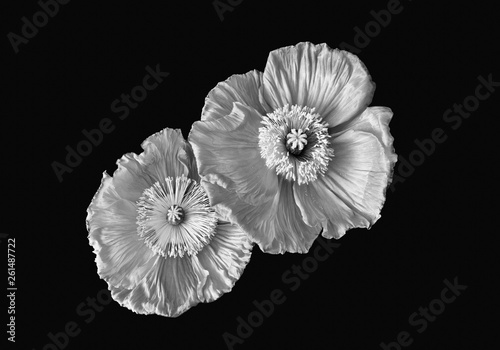 Valokuvatapetti Floral fine art still life monochrome macro of a a pair of satin/silk poppy wide