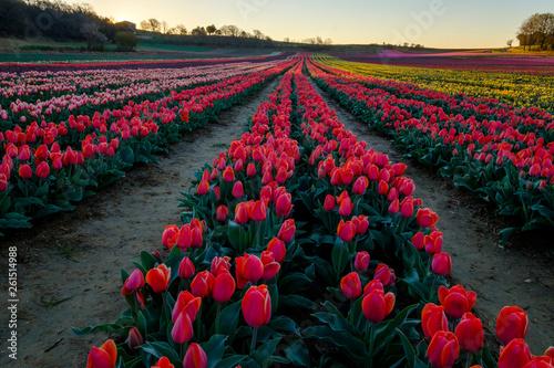Cadres-photo bureau Fleuriste Champ de tulipes en Provence, France. Tulipes rouges au premier plan. Avant le lever de soleil.