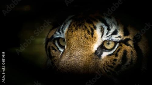 Foto auf AluDibond Tiger Portrait of tiger.