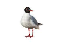 Black-headed Gull Isolated On White